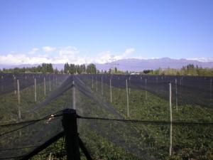 vista-viñedos-con-tela-antigranizo-y-cordillera-1024x768